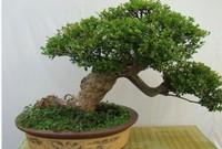 """盆栽赤楠的造景与养护""""抹芽促长、修枝整形、摘心养景"""""""
