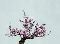 梅花盆景的养护方法和技巧,选择松软