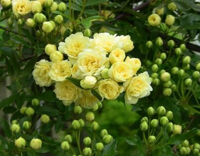 木香花的花语和品种,观赏性很高的木