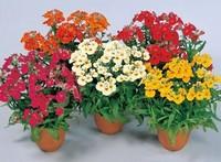 龙面花播种种植栽培方法以及龙面花的繁殖方法
