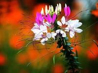 醉蝶花的花语与花期以及醉蝶花的传说与名称由来