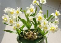 生活中种植水仙花叶子太长应该如何修剪?你知道吗?