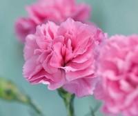 紫色康乃馨的花语是什么了解下12朵紫色康乃馨的花语