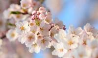 樱花树的种植栽培技术,樱花树的栽培技术非常关键