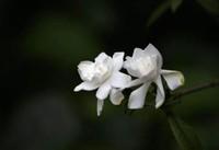 栀子花的花语是什么?栀子花送什么人比较合适?