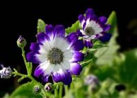 瓜叶菊常见的病虫害以及防治方法,提供通风良好的环境