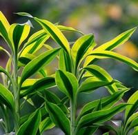怎么种植金边富贵竹?金边富贵竹的
