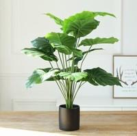 不知道该种植什么样的盆栽 介绍几个热带的阔叶的植物盆栽