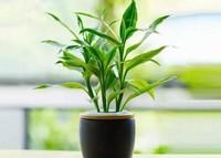 水养富贵竹叶子发黄的原因和补救方法