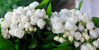 在家养茉莉花的养护技巧,一回到家就能闻到茉莉花的清香,让人觉得很幸福