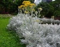 银叶菊的病虫害以及防治方法,银叶菊