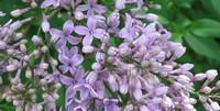 什么品种的丁香花最香,丁香品种排行榜附带图片