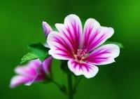 锦葵的四大种植栽培方法与技巧,快来看看吧