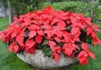 一品红种植栽培的四大方法,超级简单快来看看吧