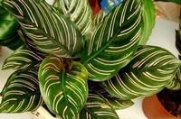 叶子好看颜色鲜艳的五大植物,快来看看你见过几种?