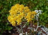 银叶菊的花语,银叶菊适合送的人群
