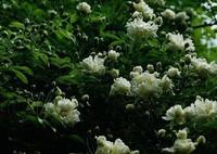 木香花的种植栽培和繁殖的方法与价