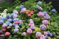 家养绣球花常见的6种病虫害,及时有