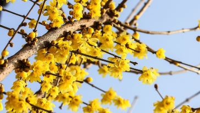 在家盆栽腊梅的养护技巧,坚韧、高洁的代表