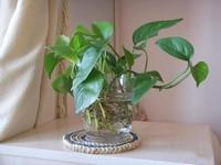 非常适合水培的五大植物,能够吸收空