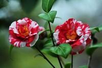 山茶花日常养护注意的事项,促进开花
