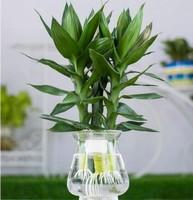 如何才能使富贵竹常年浓绿呢?想必你看后就会知道了