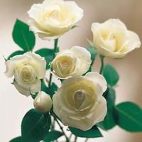 白玫瑰花语是什么我足以与你相配