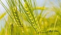 小麦种植主要病虫害及其防治方法