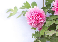 牡丹为什么会受这么多人的喜欢?牡丹花的种植方法和养护办法
