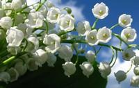 """铃兰被称为""""山谷中的百合"""" 铃兰花成为婚礼上常用的热门花材之一"""