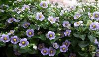 紫芳草的用途以及紫芳草的价值