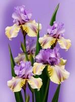 鸢尾花花语是什么?鸢尾花的寓意和象征
