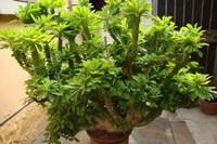 变态植物麒麟掌,大戟科的植物,怎么繁殖呢?