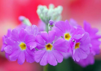 樱花草的花语是什么樱花草的花语传说
