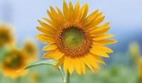 向日葵的花语向日葵有向往光明,对社会黑暗暴力的谴责