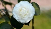 白色山茶花的花语是什么白色山茶花的象征意义