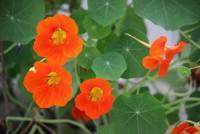 旱金莲的六大养护方法与技巧,重要的夏季观赏花卉