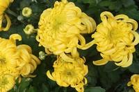 菊花的种植方法和注意事项,保证肥沃的土壤和水分就一定可以养成出美丽的漂亮的菊花