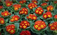 报春花的四大种植栽培方法与技巧,加强管理延长花期