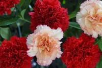 康乃馨的花语是什么,赠送给长辈表达自己的尊敬之情