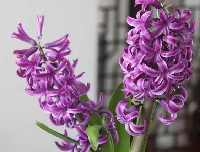 """关于紫色风信子的花语是什么大家都了解吗?""""悲伤、忧郁的爱"""