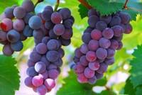 阳台种葡萄有何诀窍 葡萄的种植方法和注意事项