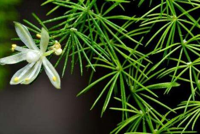 文竹的病虫害以及防治方法,文竹是价值非常高的植物