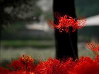 彼岸花能种在家里吗?彼岸花有毒吗?