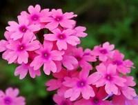 美女樱的六大养护方法与技巧,种植美女樱的必看