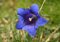 龙胆花常见的四大病虫害以及防治方