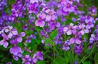 二月兰常见的病害与虫害以及防治方法,二月兰是野花也是野菜