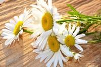 雏菊照片集锦 雏菊花语:能代表暗恋的花
