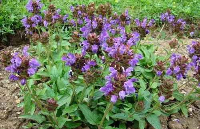 很常见的特殊植物,一到夏天的时候就会枯萎,你认识吗?