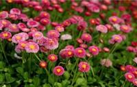 翠菊常见的五大病害以及防治方法,有极高的药用价值